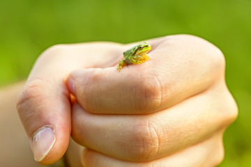 San Antonio Frog (Hyla arborea) on hand. European Tree Frog.