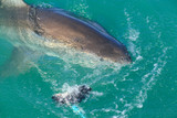 White Shark from Kleinbaai harbour in South Africa.