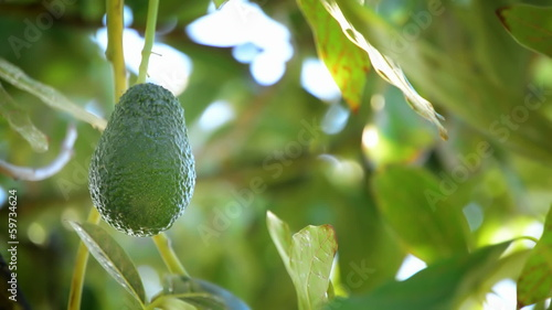 Avocado hass in branch