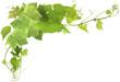 feuilles de vigne - 59735666