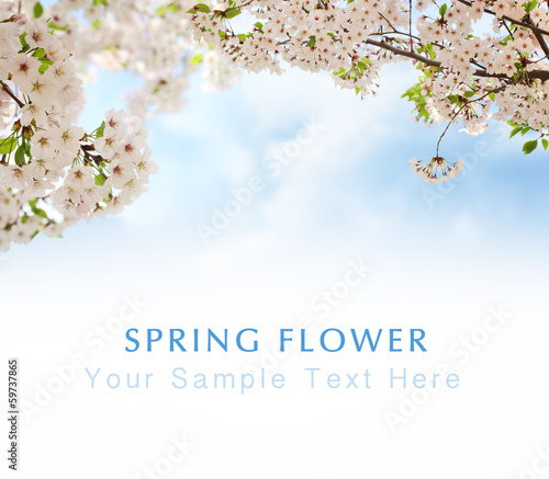Blossoming plum flowers in spring