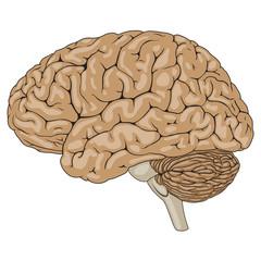 Human Brain Brown