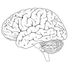 Human Brain BW
