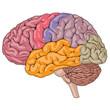 Human Brain Parts - 59739875