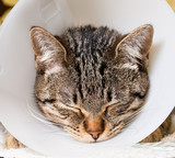Portrait of an anesthetized cat  with an Elizabethan collar poster