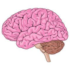 Human Brain Pink