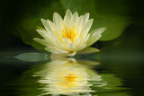 Yellow lotus blossom with reflection