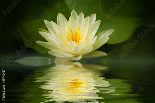 Fotobehang Lotusbloem Yellow lotus blossom with reflection