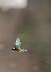 翡翠の飛翔
