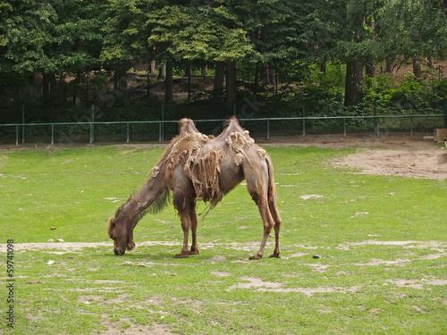 Fading two-humped camel in a zoo