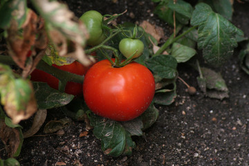 Tomate Argglobe