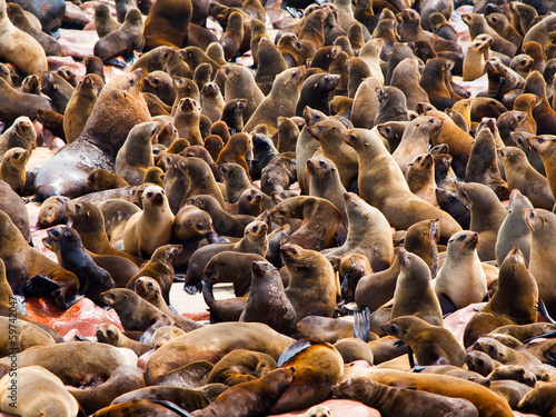 Brown Fur Seal colony (Arctocephalus pusillus)
