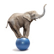 African elephant (Loxodonta africana) balancing on a blue ball. - 59744414