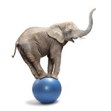 African elephant (Loxodonta africana) balancing on a blue ball.