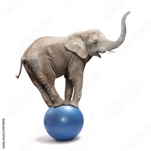Foto op Plexiglas Olifant African elephant (Loxodonta africana) balancing on a blue ball.