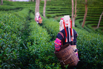 hill tribe harvester tea farmer