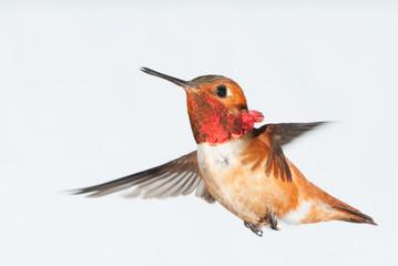 Rufous Hummingbird in Flight - Male