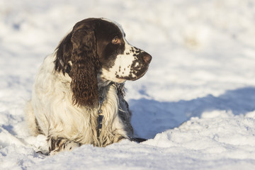 springer spaniel dog lying on the snow
