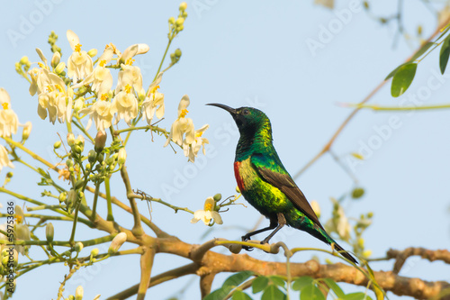 Male Beautiful Sunbird Moringa Blossoms