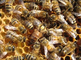 Bienenkönigin mit Hofstaat