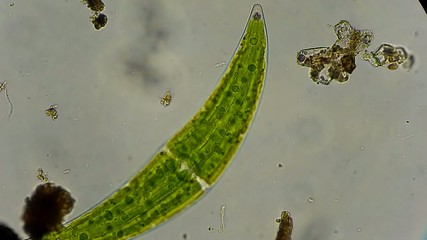 closterium algae under microscope