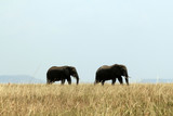 Elephant Couple on Savannah, Serengeti, Tanzania