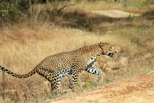 Sri Lankan Leopard Walking, Yala, Sri Lanka