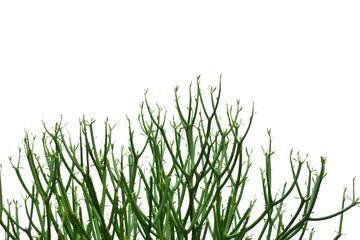 Milk bush (pencil Tree)