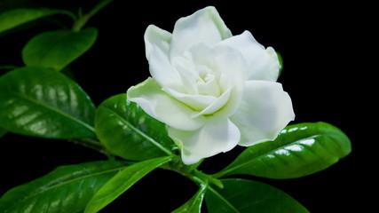 Timelapse of white gardenia flower blooming on black background