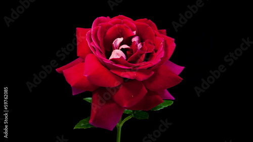 Timelapse of dark red rose flower blooming on black background