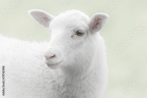 White lamb on green background