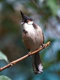 Red whiskered Bulbul (Pycnonotus jocosus) poster