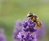wildbiene auf lavendel / Wild bee on Lavender