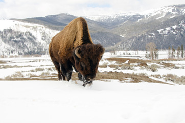 Bison Grazing in the Snow. Yellowstone National Park
