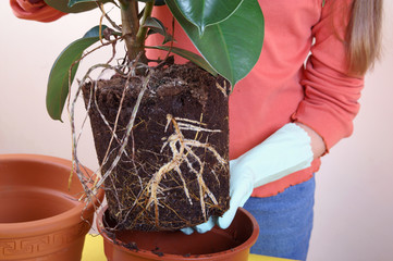 Repotting houseplants - ficus