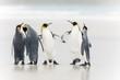 canvas print picture - King Penguin