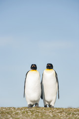 Couple King Penguins