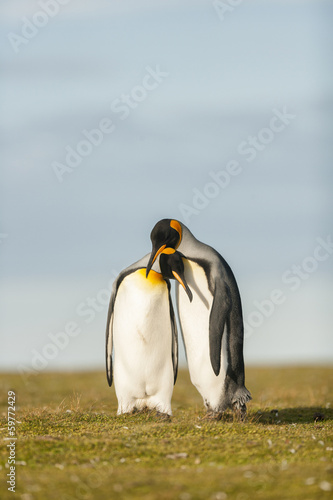 Deurstickers Pinguin Couple King Penguins