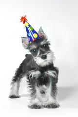 Birthday Hat Wearing Miniature Schnauzer Puppy Dog on White