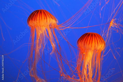 Two red-orange jellyfish