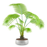 palm plant tree in the pot at the white background