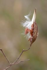 Milkweed Profile