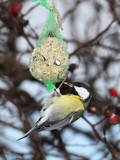 Great Tit (Parus major) on the tallow ball