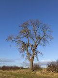 winter ash tree