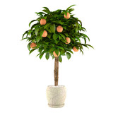 Citrus lime tree in the pot. Flowerpot at the white background