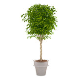 plant bush in the pot at the white background