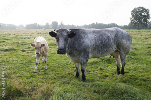 cow with calf
