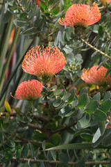 Leucospermum erubescens (Oranjevlam/Orange Flame) flowers