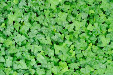 Green Carpet of Ivy