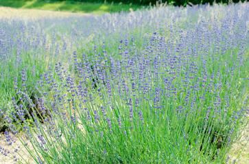 Lavender Bush Close-up